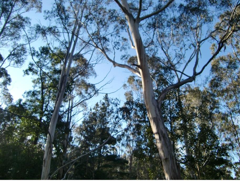 ⑥これがユーカリの木です。フェデレーション大学のあるバララットの町は、自然豊かな素敵な町です。