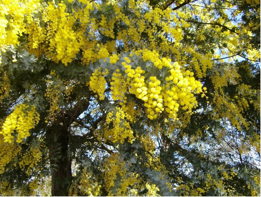 ④この時期、WATTLE(アカシナ)の花がきれいでした。